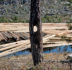 Furutre med gjennombrudt hull i stammen, omtrent i bysthøyde