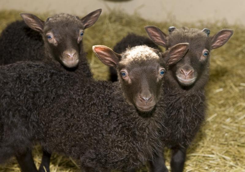 I det gamle bondesamfunnet vart dyra døypte skjærtorsdag.