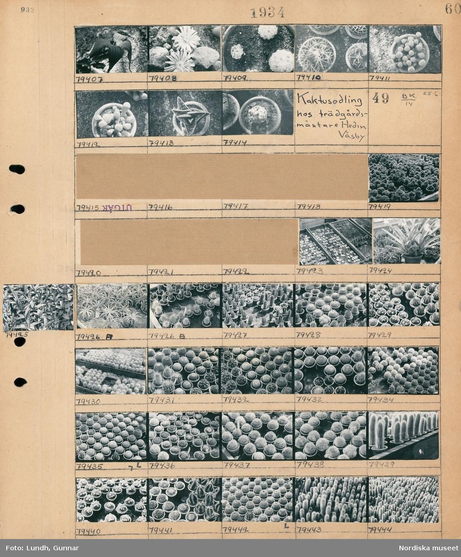 Motiv: Hos trädgårdsmästare Hedin, Väsby; Kaktusar i krukor.  Motiv: Kaktusodling hos trädgårdsmästare Hedin, Väsby; Rader av kaktusar i krukor.