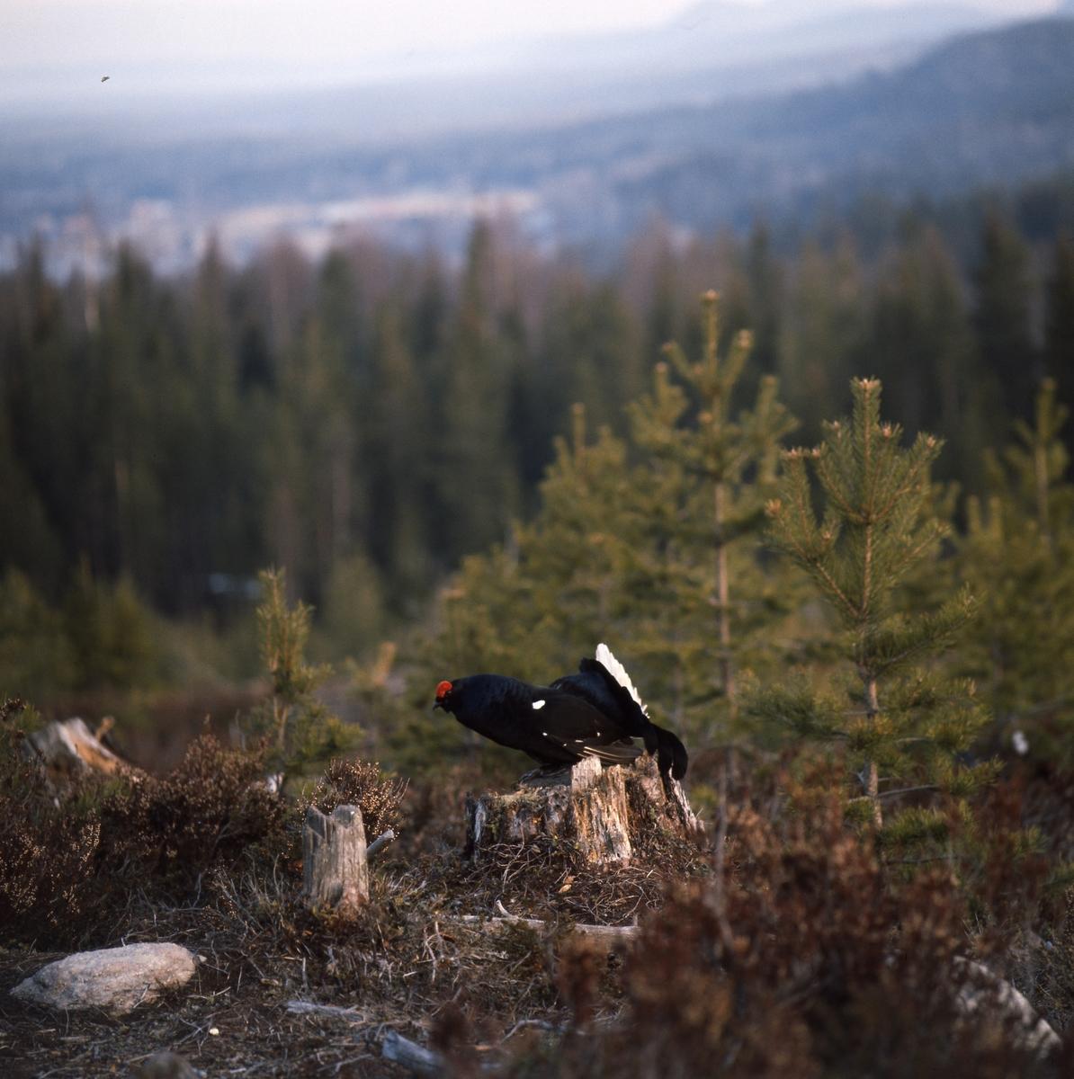 Orrtupp sitter på en stubbe på en höjd i skogen.