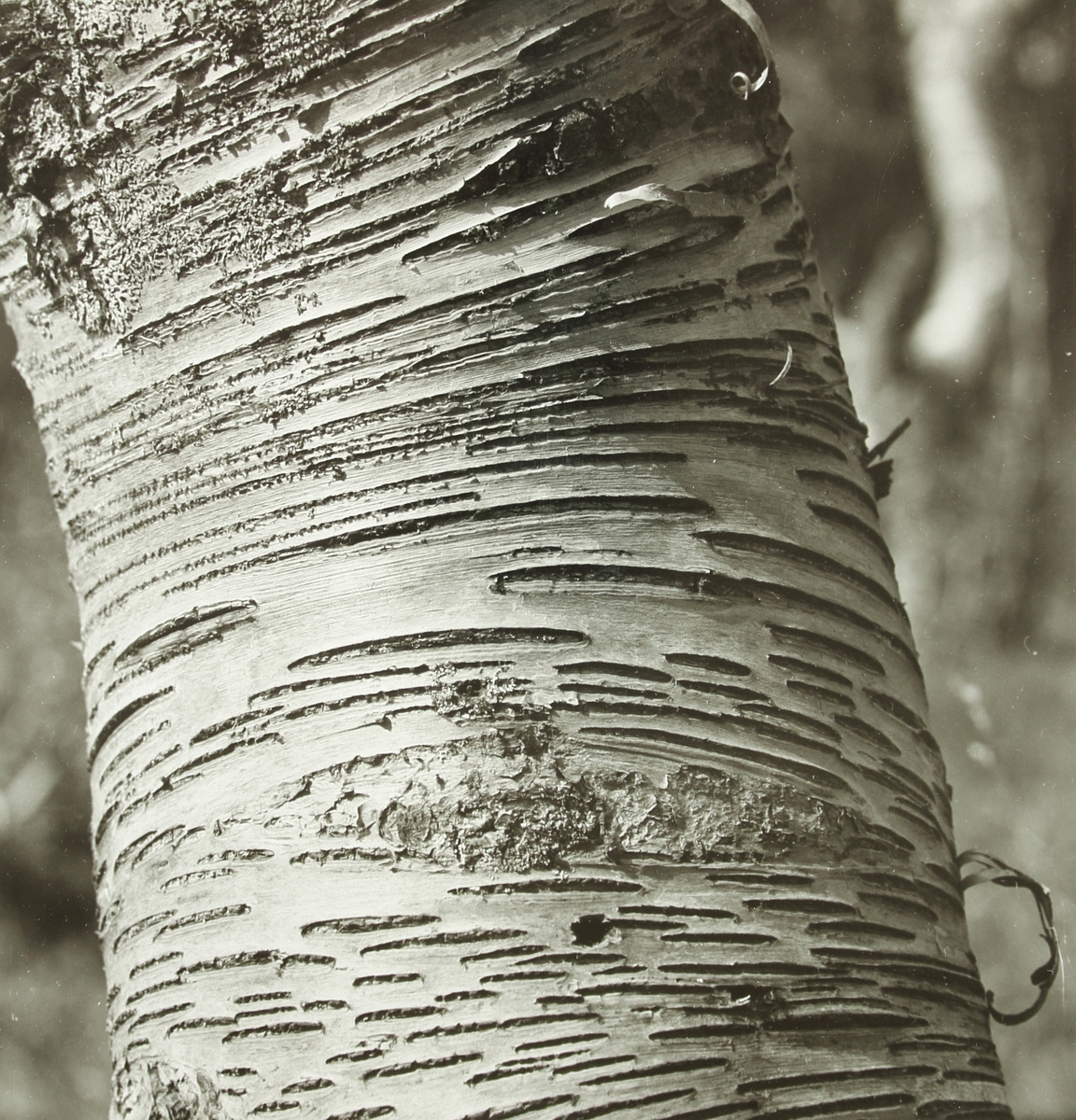 En närbild av en trädstam med randig bark och mossa.