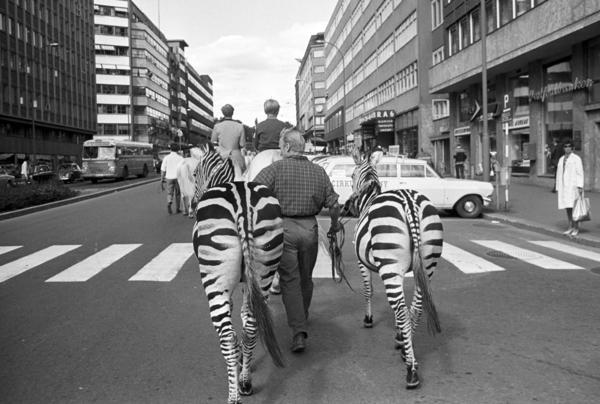 Cirkus Berny har dyreparade, med hester, sebraer og elefanter, gjennom Oslo. Fotografert august 1968.. Foto/Photo