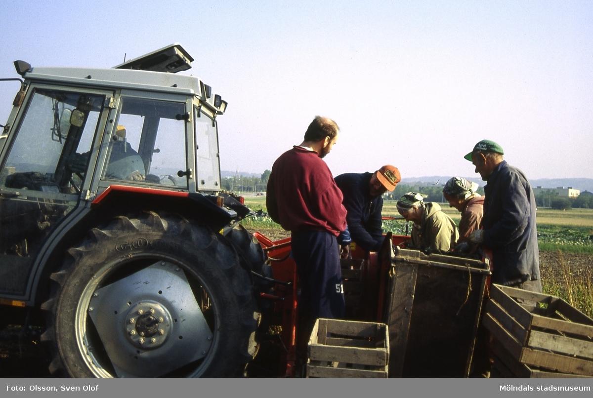 Östergården 1 i Fässberg, Mölndal, i oktober 1991. Anderssons tar upp potatis med en helautomatisk potatisupptagare. F 6:24.