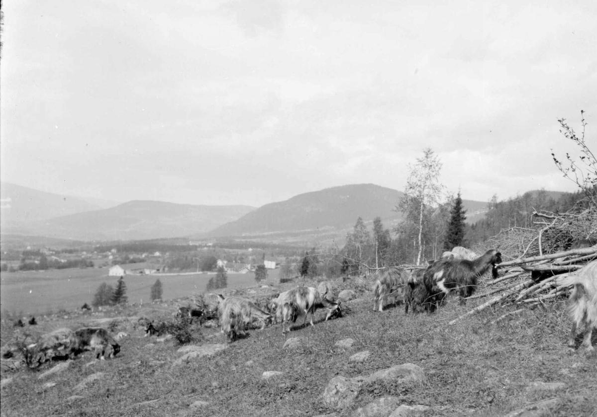 Geiter på Lysgård. Balbergkampen, Jørstadhøgda og Gausdal i bakgrunnen.