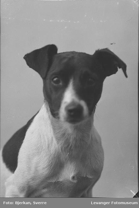 Portrett av en hund av rasen jack russel terrier.