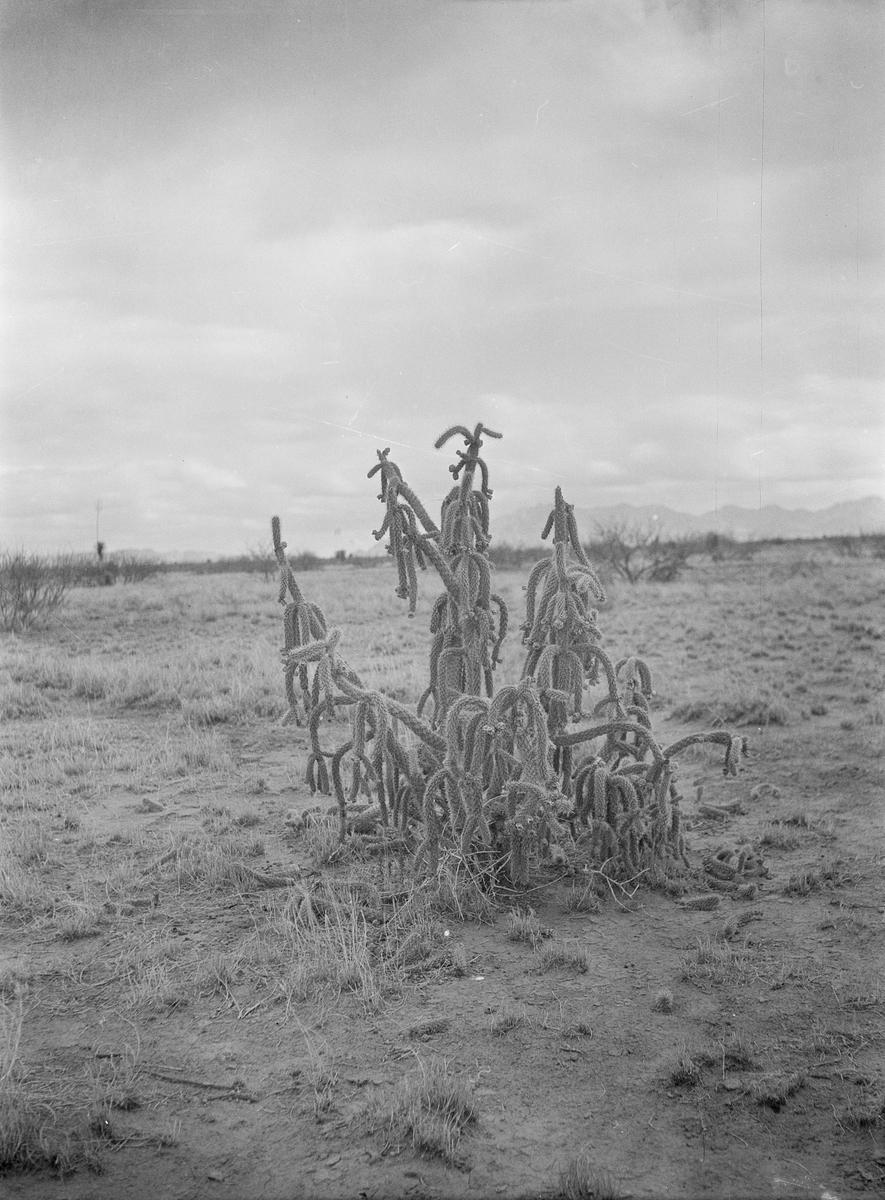 Mexico. Kaktus