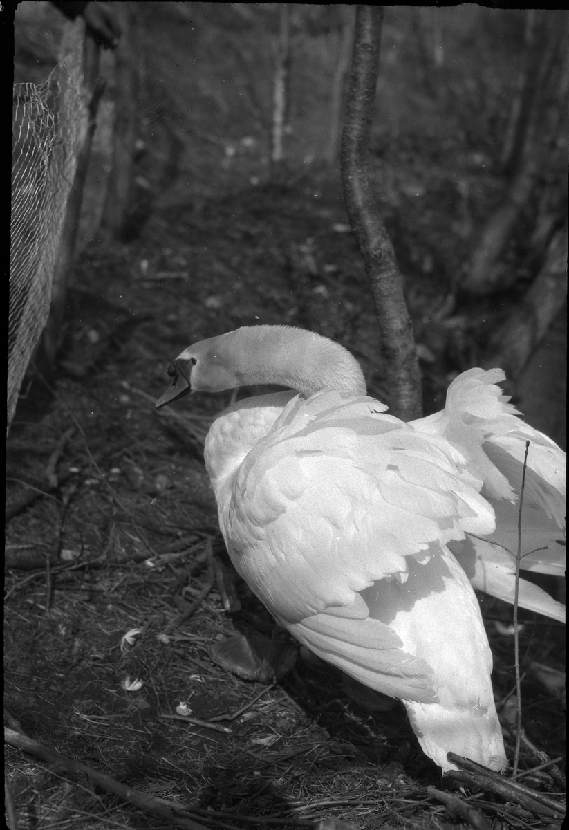 En svan men halvt utfällda vingar, fotograferad i Nolhaga.