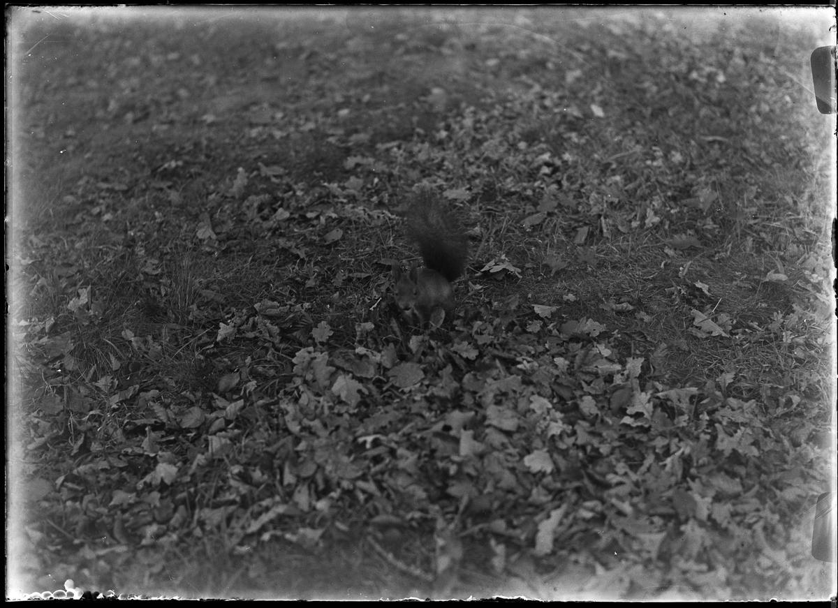 En ekorre leker i höstlöven.