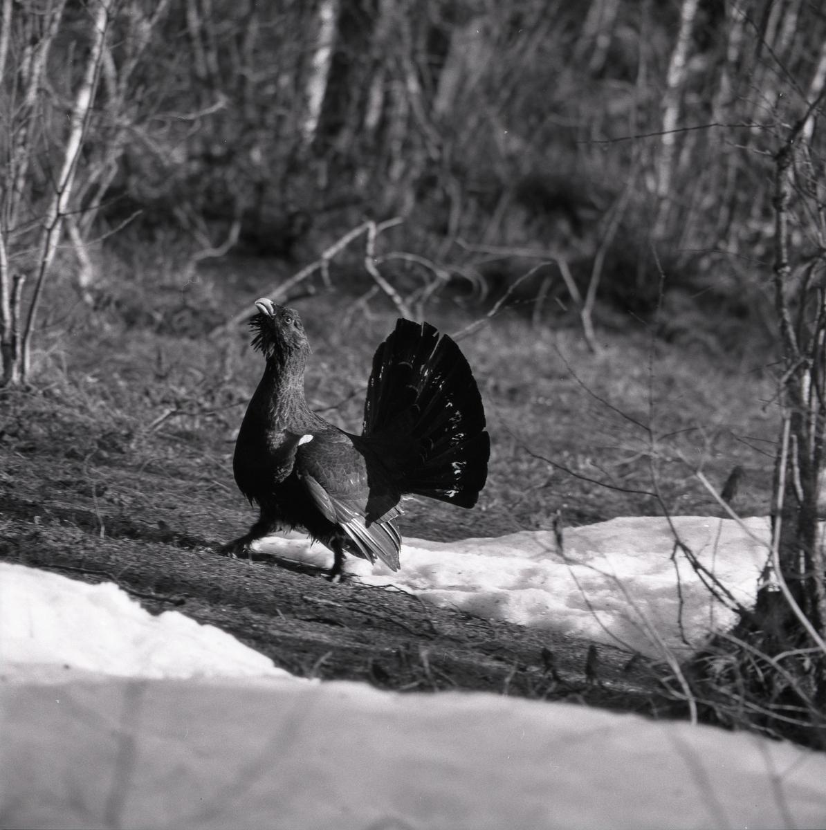 En tjäder spelar i skogen våren 1975. Marken är fläckvis täckt av snö.