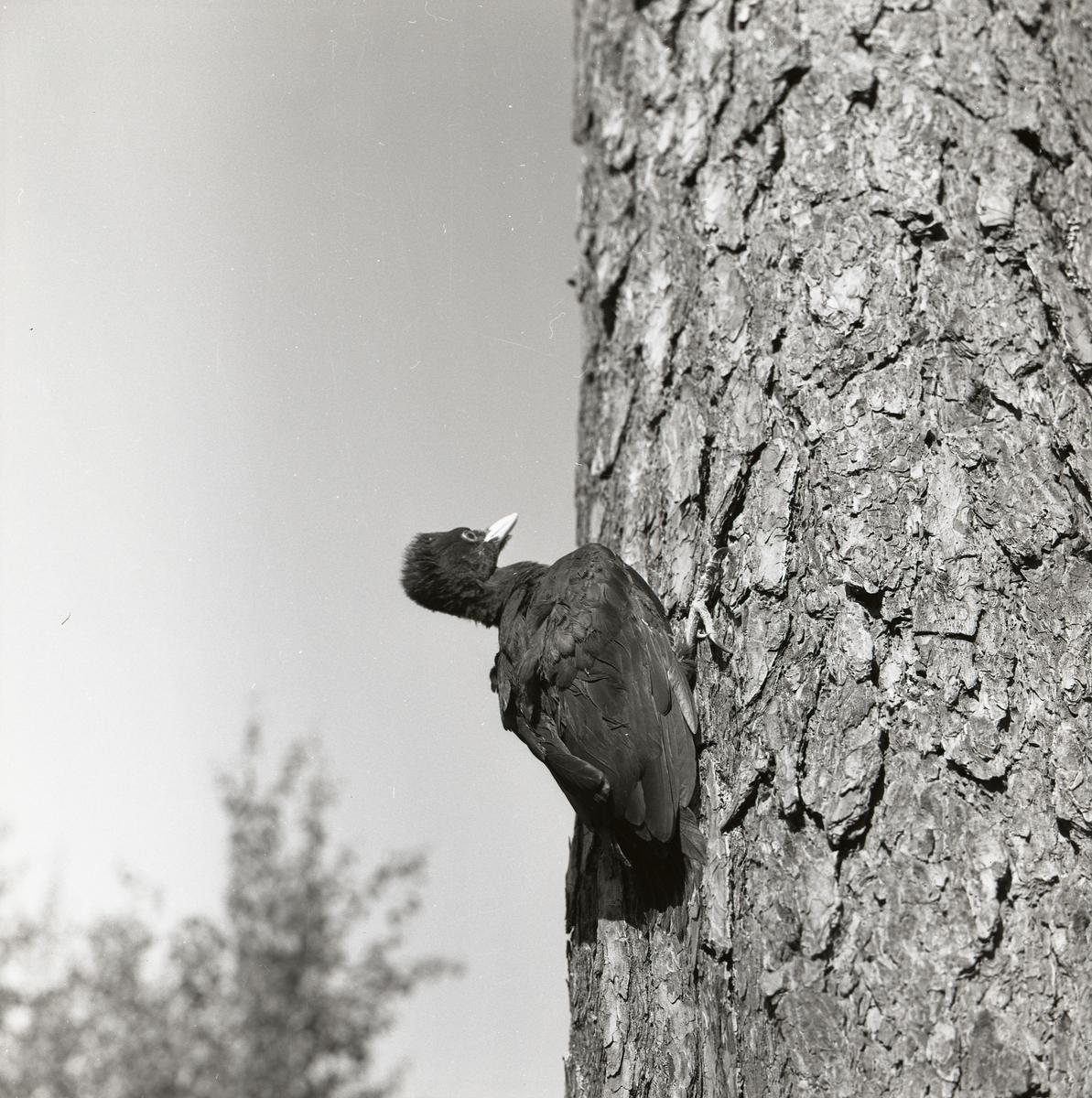 En spillkråkunge, fotograferad snett nedifrån, sitter på en tall våren 1961.