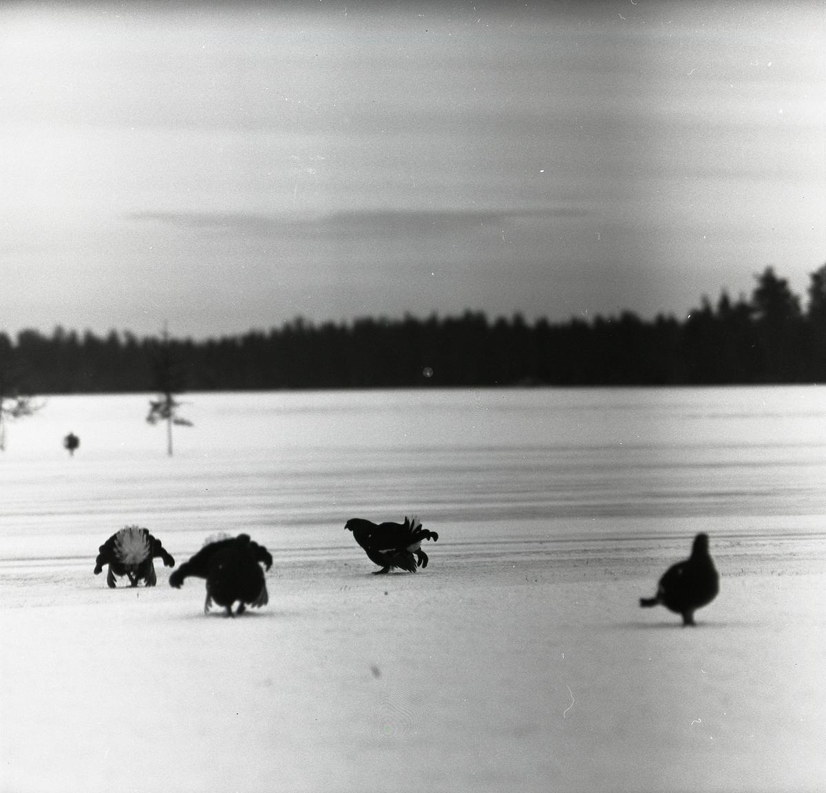 Några orrar på snön den 4 februari 1957 i Söderhamn.