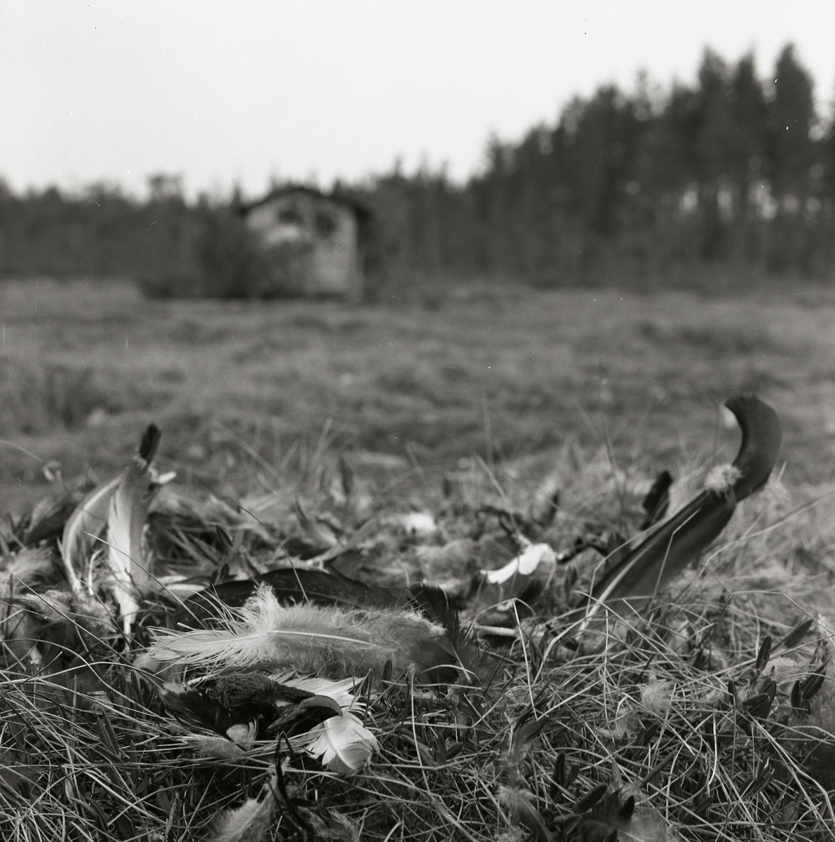 En hög fjädrar och dun efter en orre som blivit fångad av en hök den 24 april 1960.