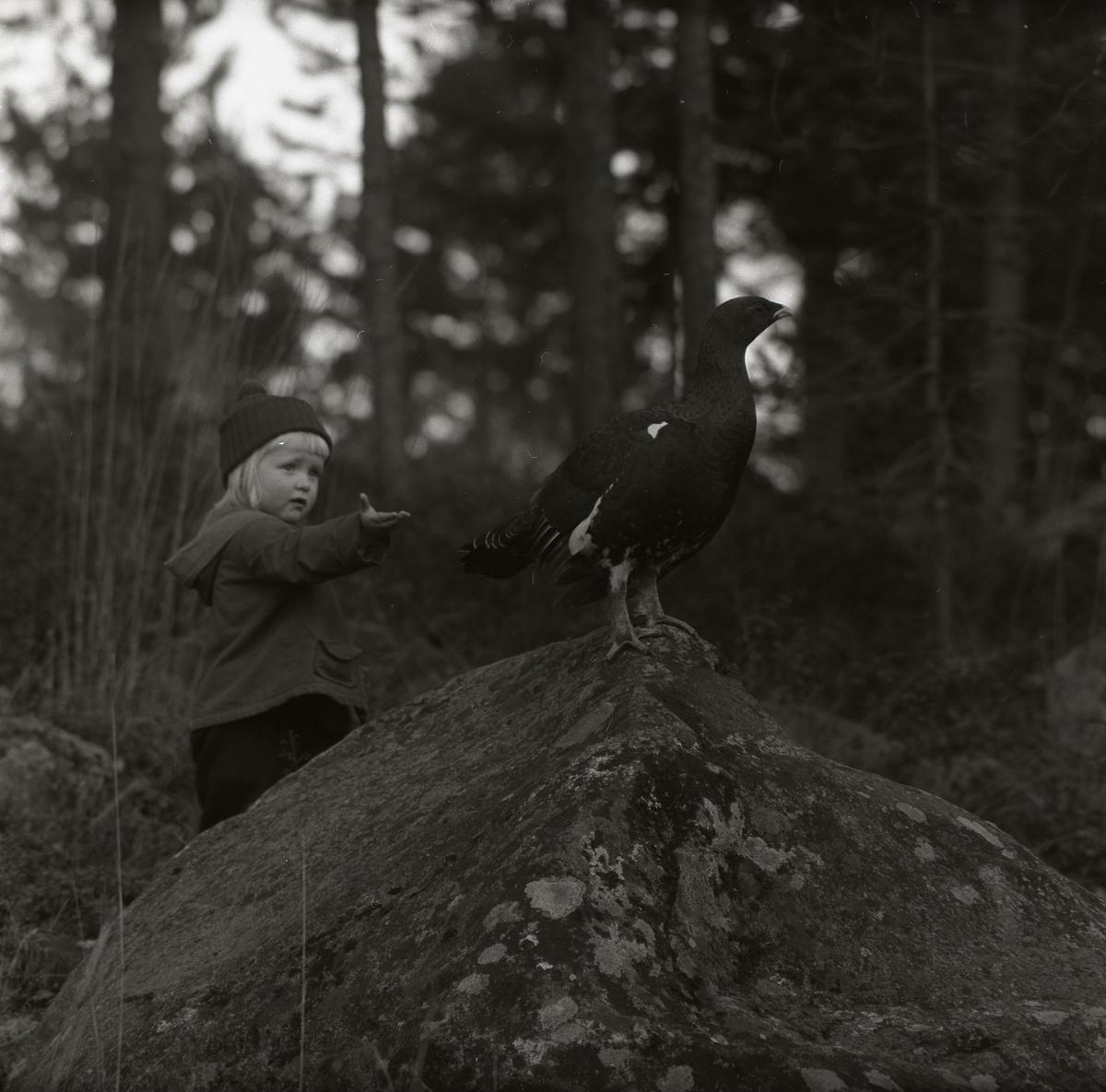 Ett barn står i skogen och sträcker ut handen mot en tjäder som sitter på en sten 22 oktober 1957.