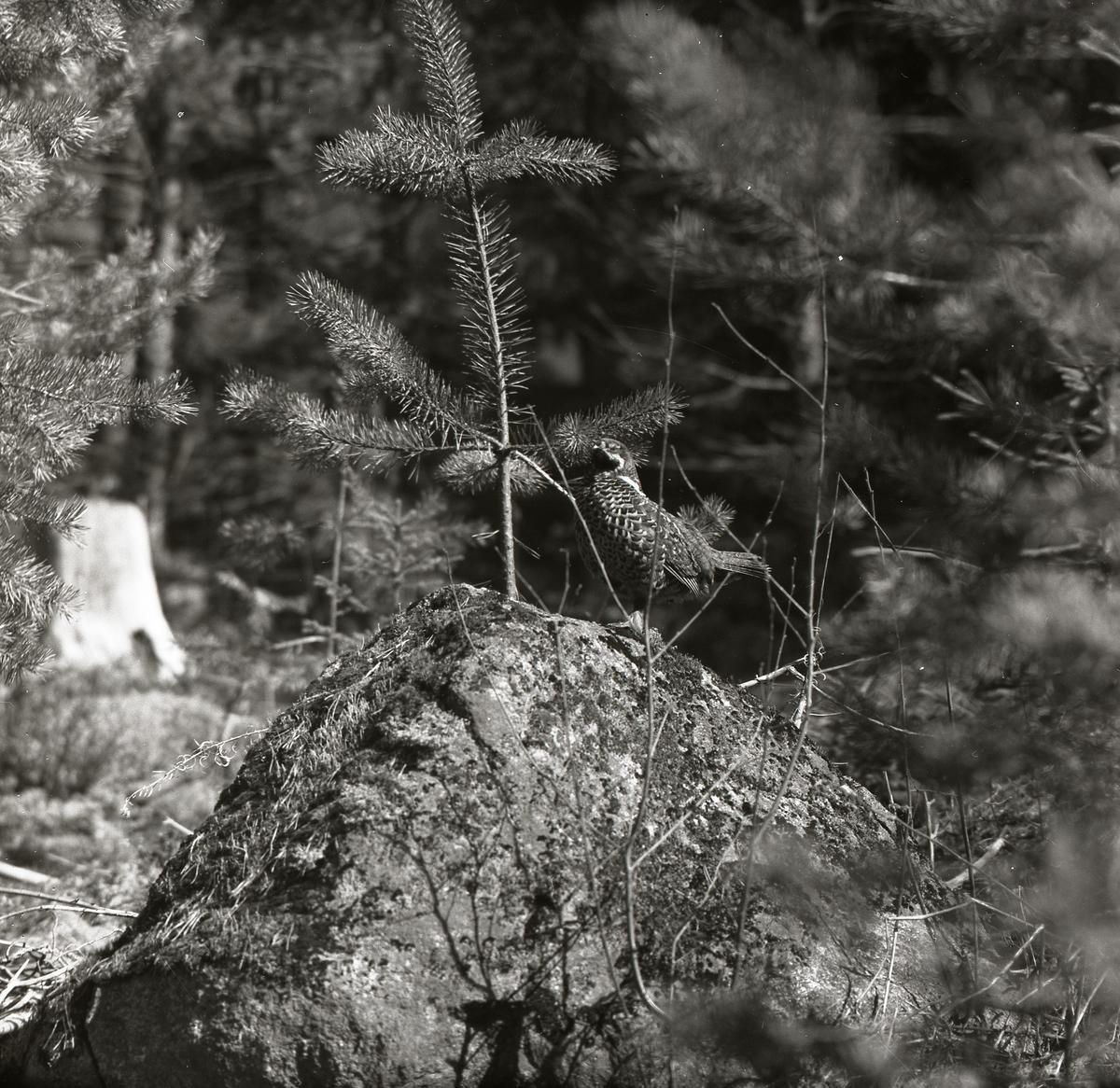 Järptupp sitter på en sten bland tallar i en skog, Mobergen 1 maj 1957