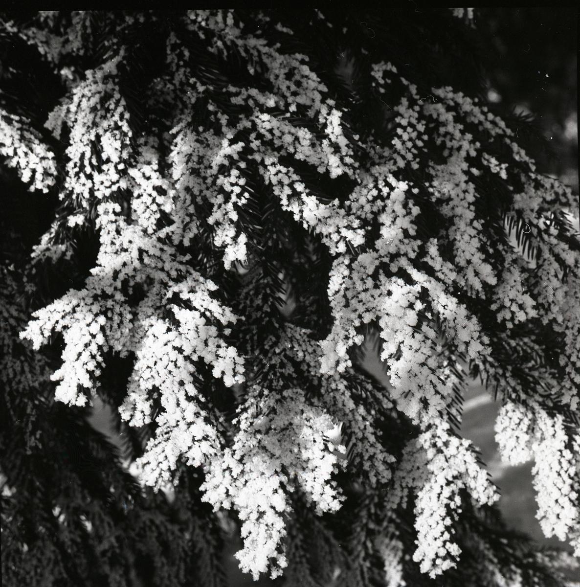 Närbild på grankvist med rimfrost, vårvintern 1960.