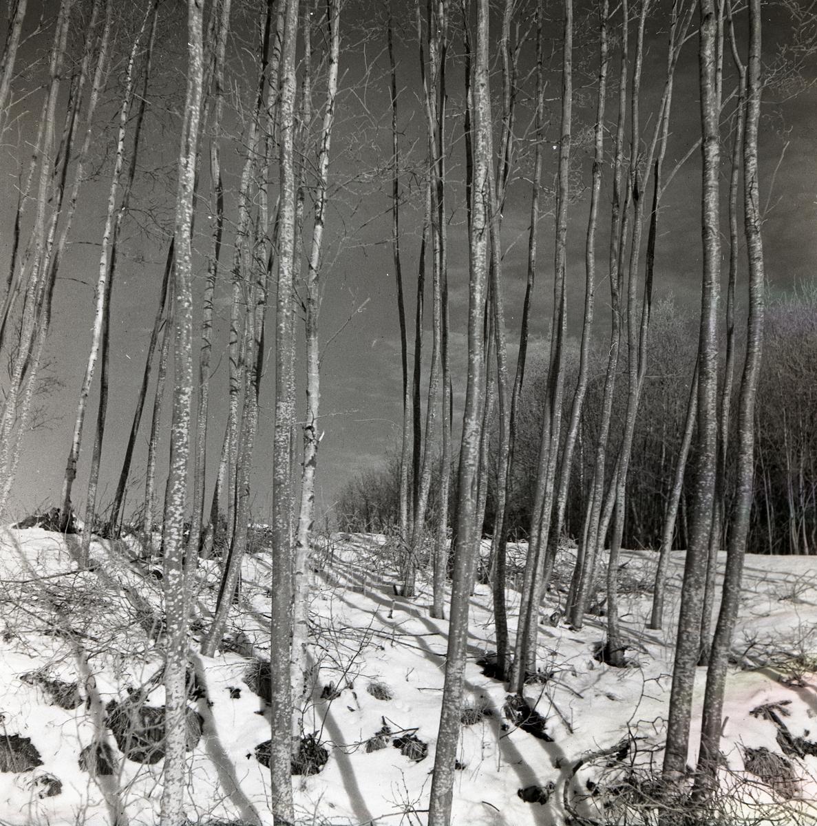 Alstammar i Österböle, december 1951.