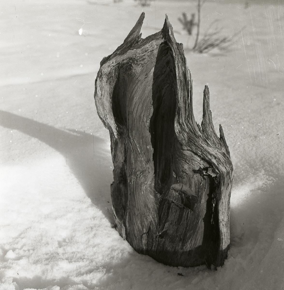 En trädstubbe i snön har formen av en katedral enligt Hilding, mars 1960.