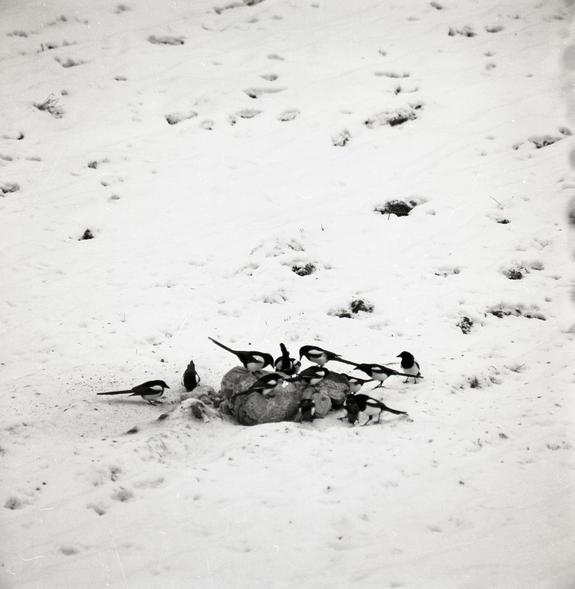En flock skator sitter på talgbollar i snön.
