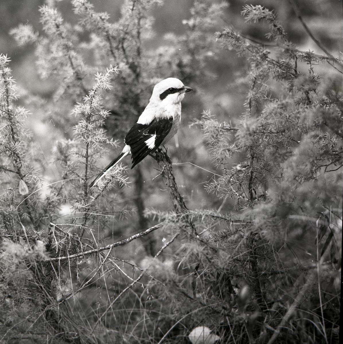 En varfågel sitter på en kvist i en buske under hösten 1968.