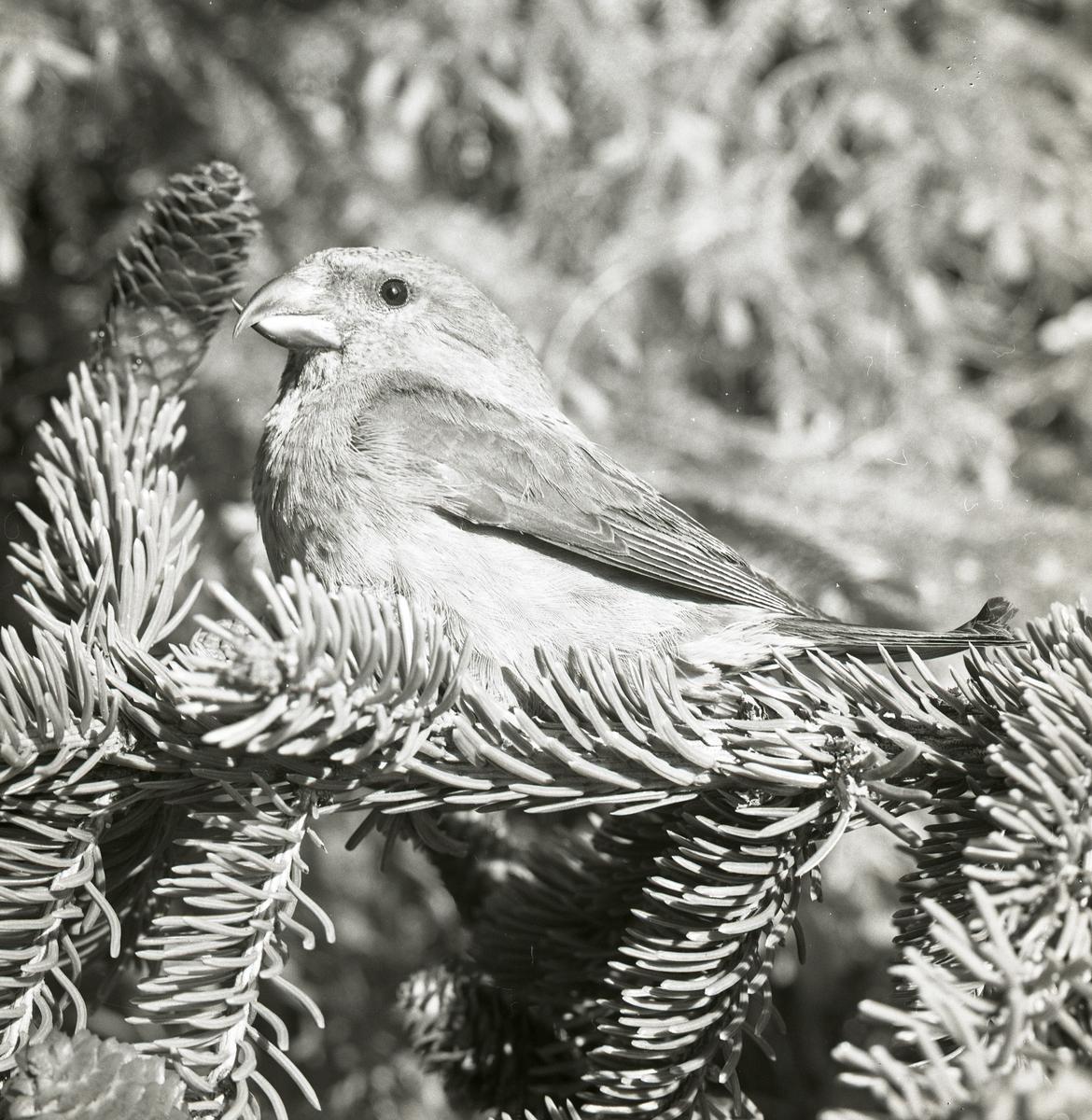 En mindre korsnäbb sitter på en en grankvist i juni 1966.