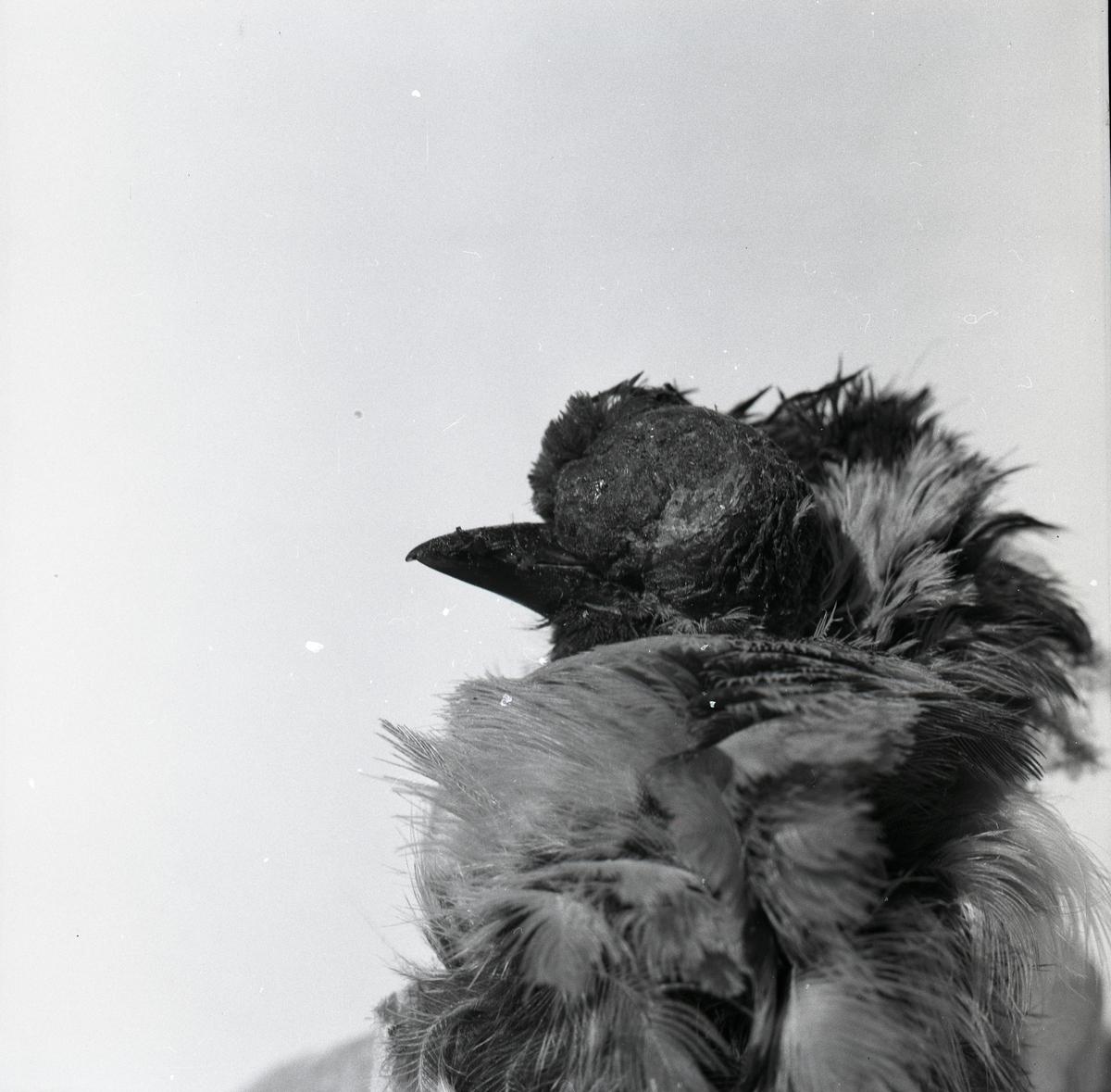 En sjuk talgoxe med utväxt i ansiktet, vintern 1960.