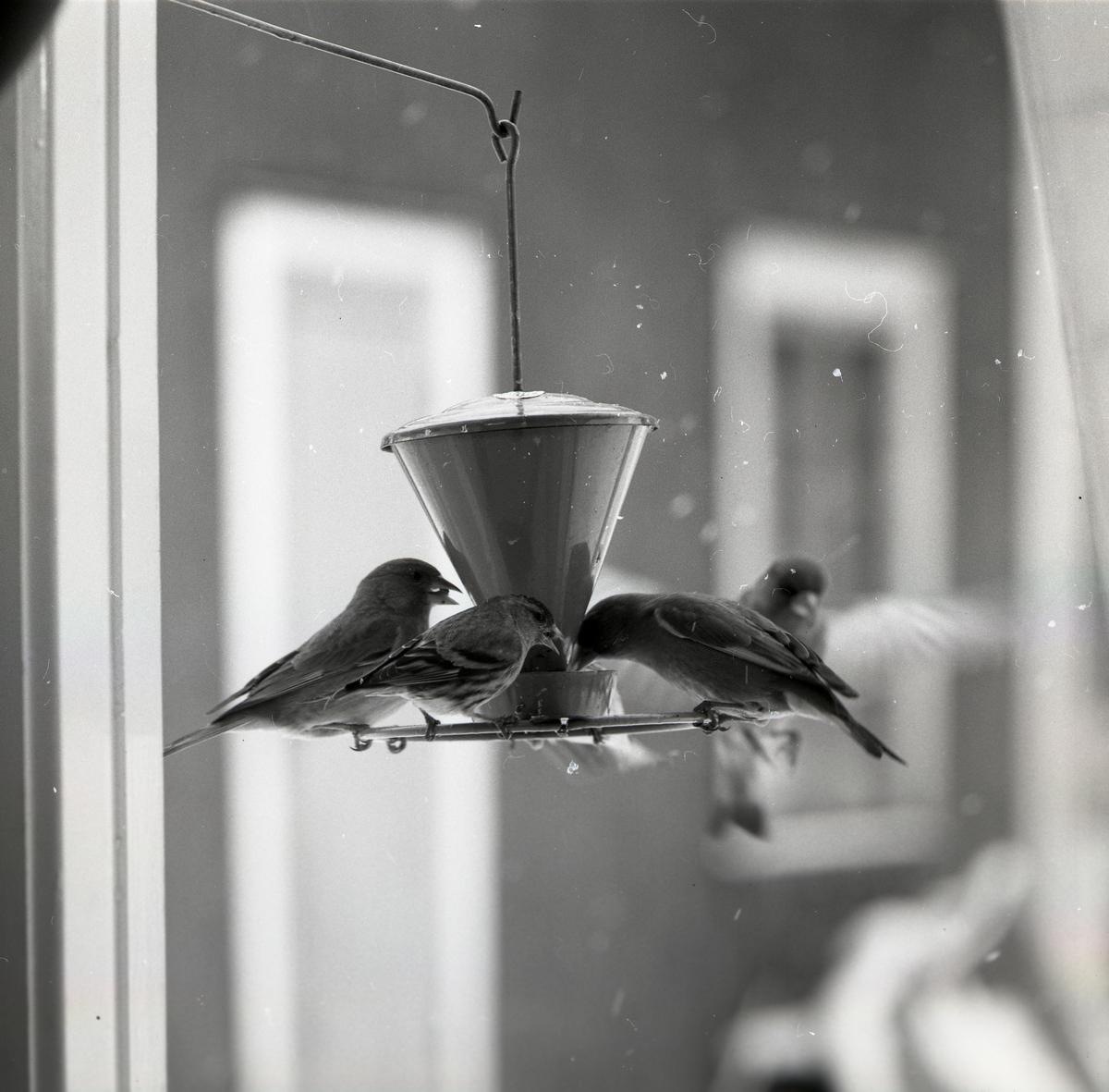 Grönsiskor och grönfinkar sitter vid en foderautomat den 1 maj 1967.