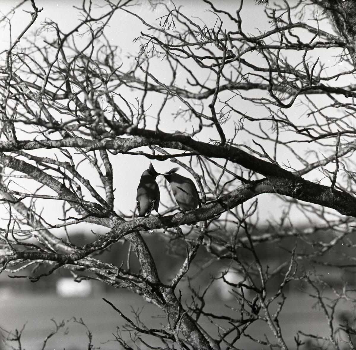 Två sidensvansar som kelar i ett träd, 1957.