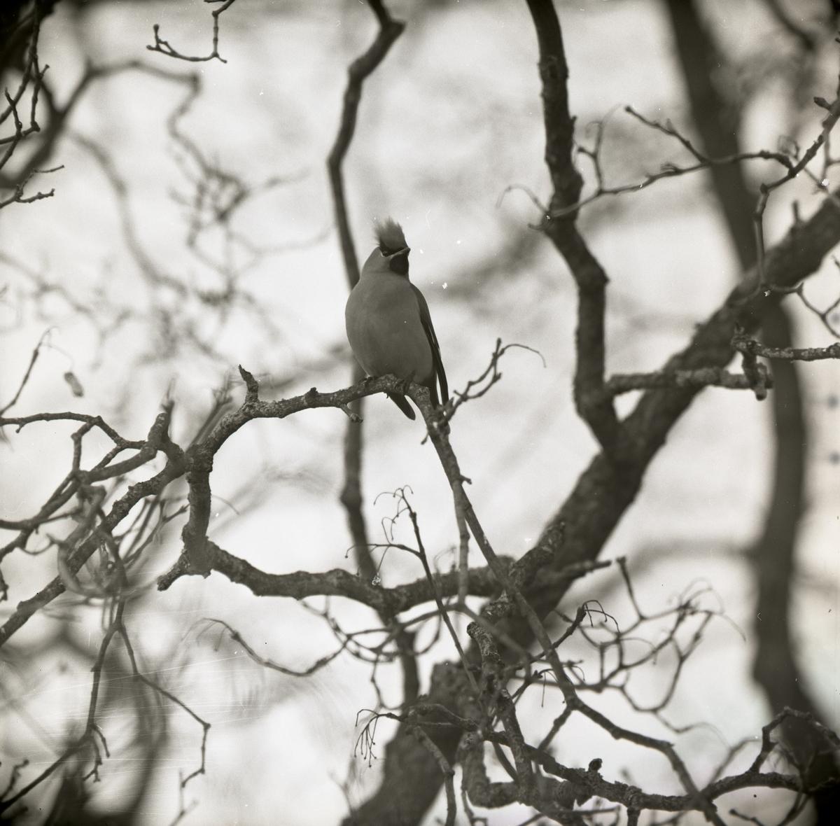 En sidensvans sitter på en trädgren i mars 1965.