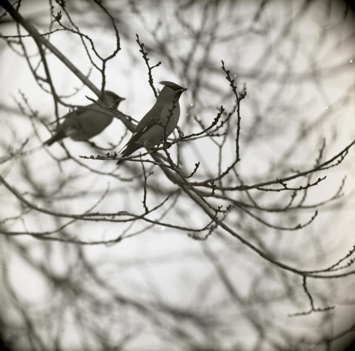 Två sidensvansar sitter på en kvist i ett träd, mars 1965.