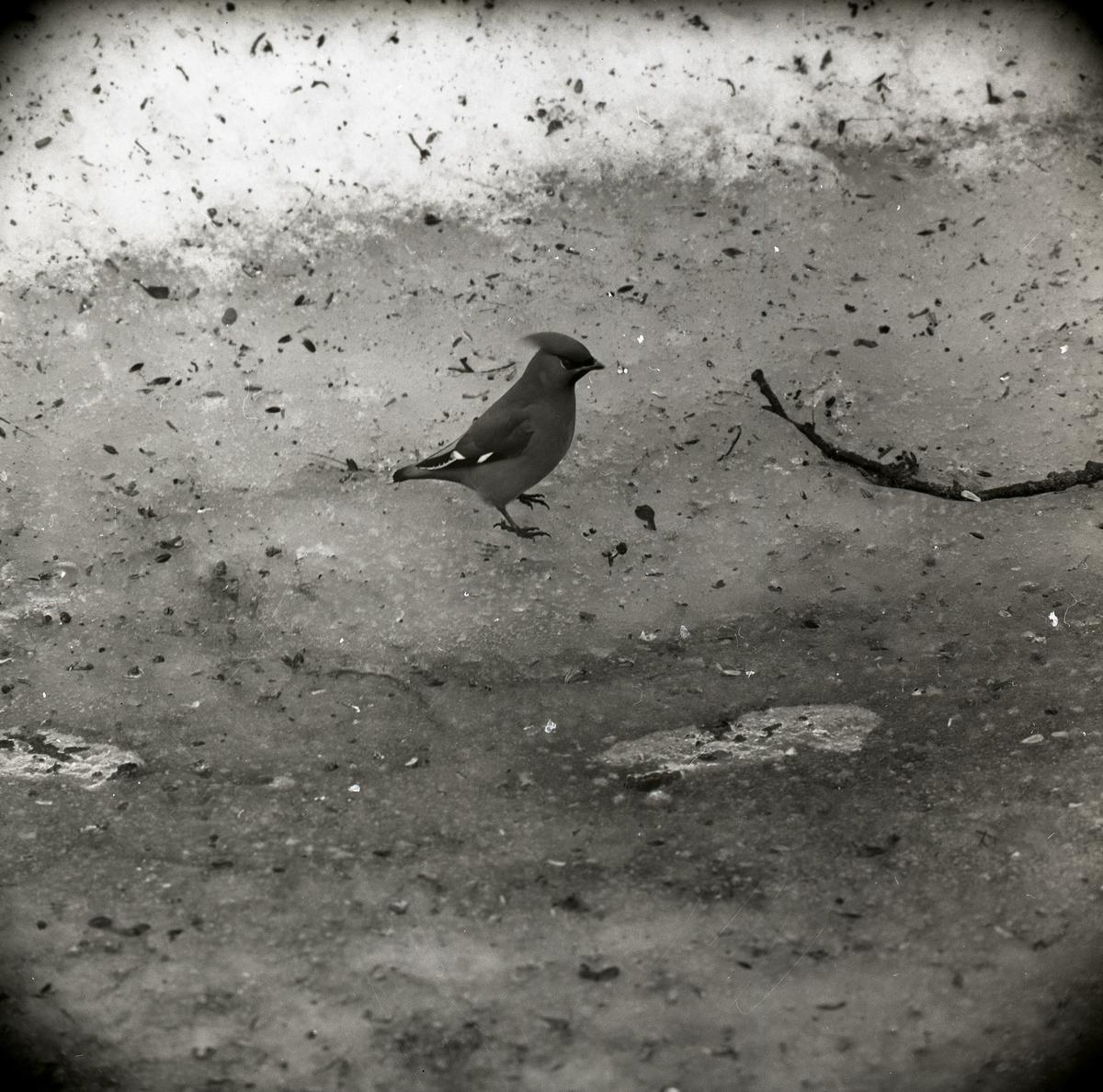En sidensvans står på isig mark i mars 1965.