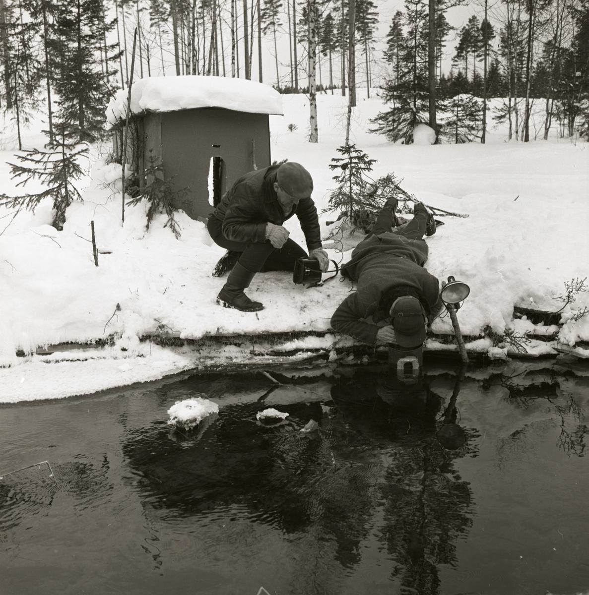 Fotografering av strömstare  vid ån mars 1962. Två män ställer i ordning kamerautrustningen. På starneden bakom dem finns ett gömsle.