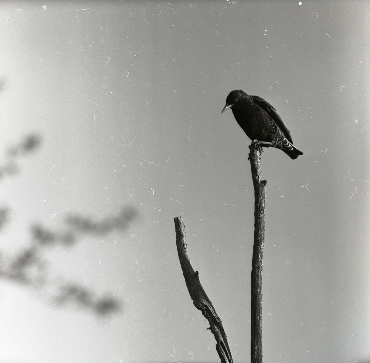 En stare sitter i toppen på en hagstör, juni 1957.
