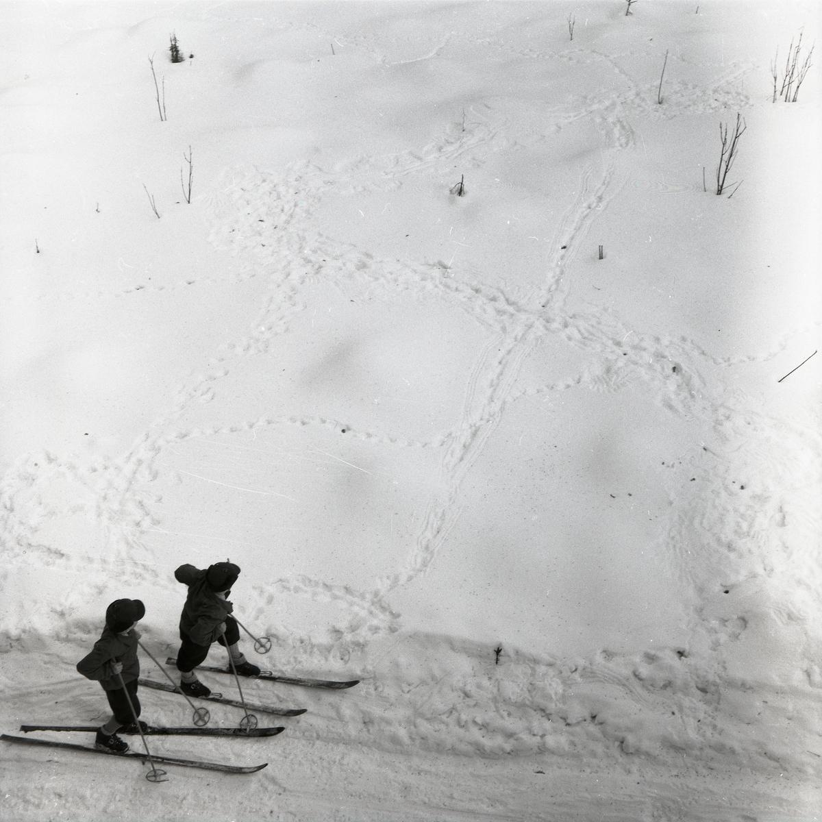 Två skidåkare tittar på orrspår i snön vid Degeln, 10 april 1955.