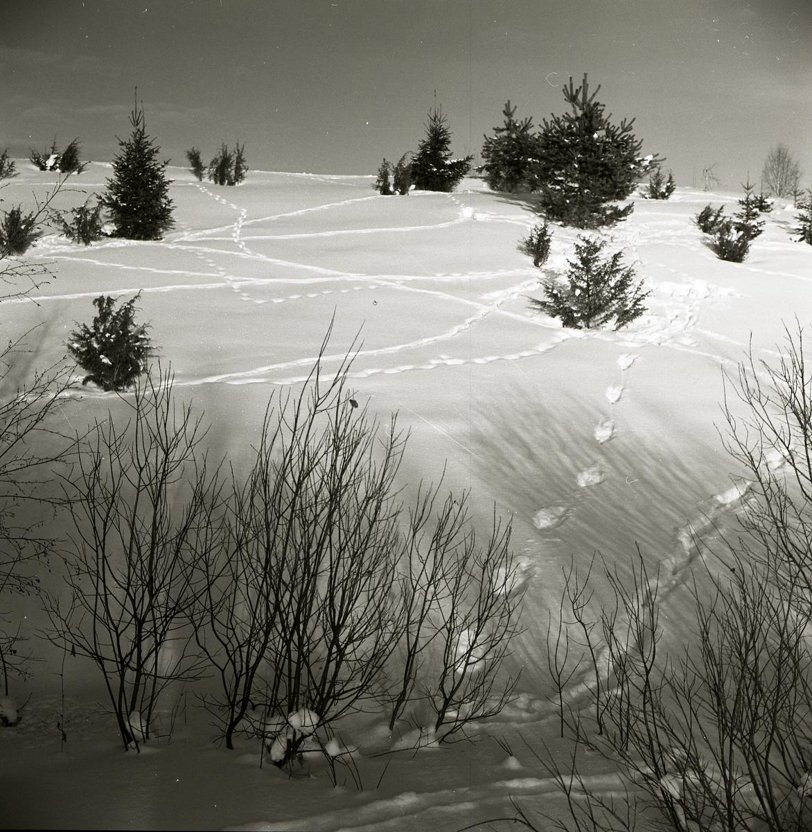 Rävspår i snön bland granar, januari 1970.