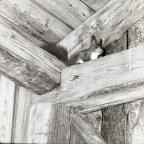 En ekorre sitter uppe vid takbjälkarna i en lada, 1961.
