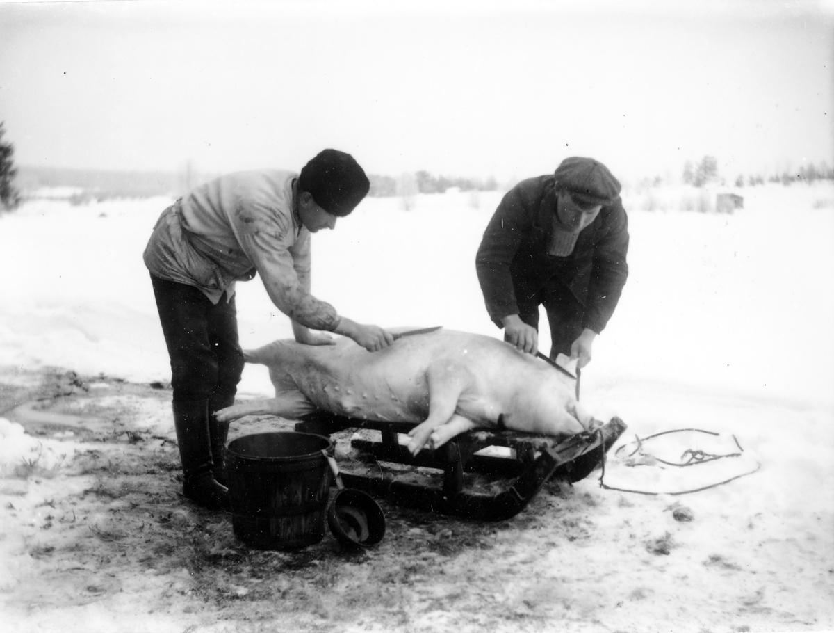 Svinslakt vintertid. Två män med knivar skall slakta en gris som ligger på en kälke. Bilden möjligen från Fredrikshult, Lena socken. Foto omkring 1910. Negativet gåva 1973-03 av Ulf Wingård, Göteborg