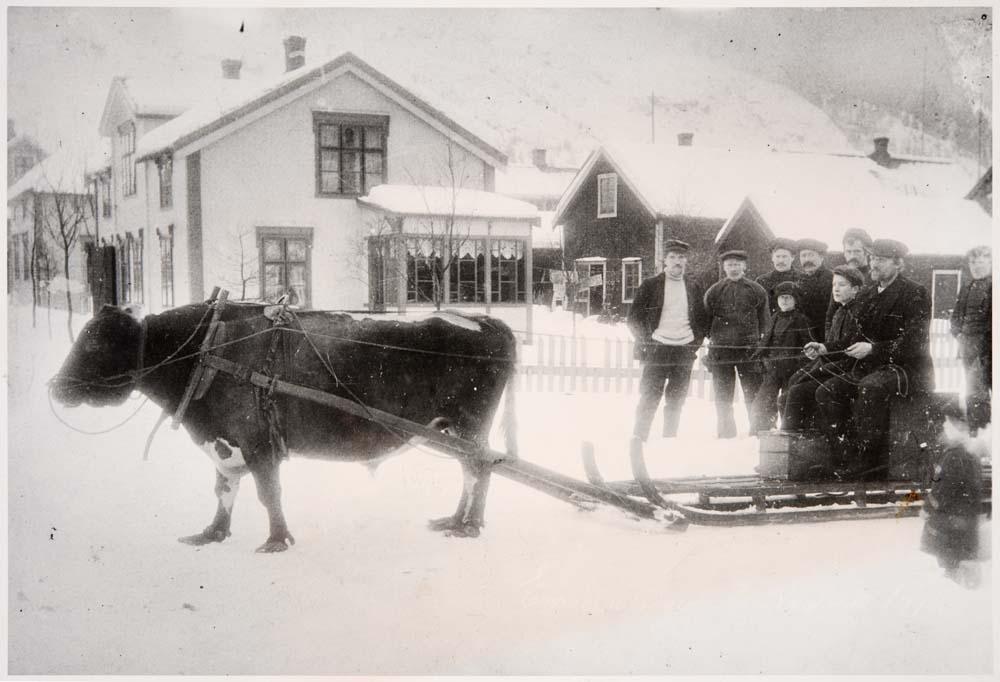 Gruppebilde. Bendik Strøm fra Drevja, og andre ukjente personer, som kjører med okse i Mosjøen (krysset Chr. Qvales gate / Petter Dass gate).