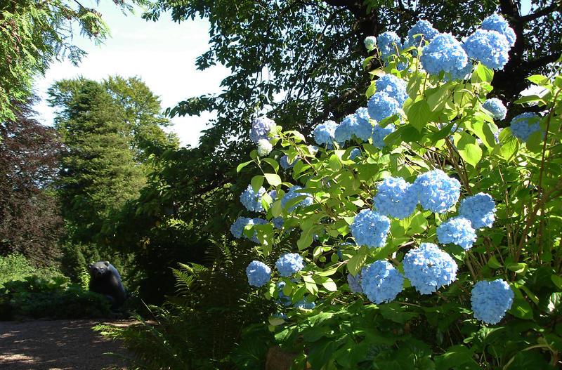 Blå hagehortensia utenfor hovedhuset. Foto: Liv Bjelland (Foto/Photo)