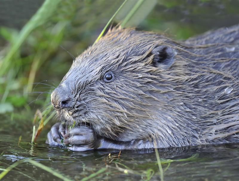 Bilde av en bever som spiser