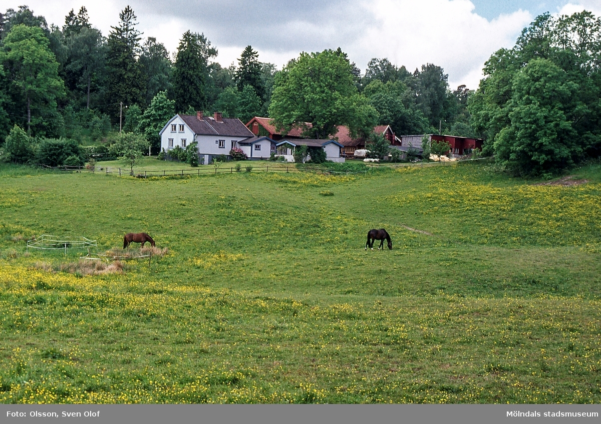 Hästar på bete i Helenedals hagar i Mölndal, den 14 juni 2001. I bakgrunden ses Korsslätt.