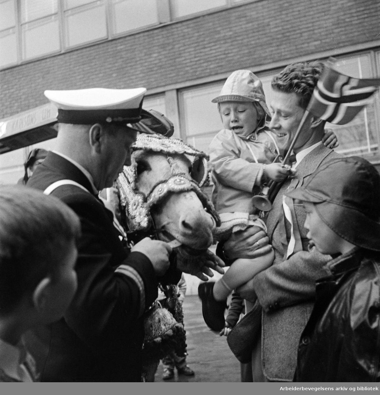 Esel (deltager i blårusstoget). 17. mai 1957.