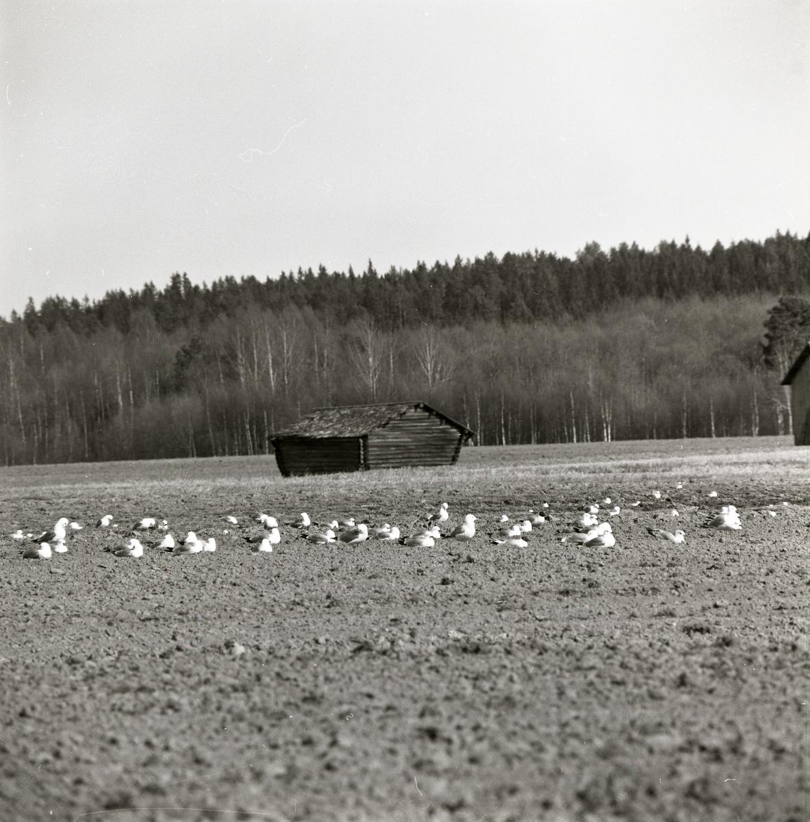En flock fåglar ligger på en åker med hus och skog i bakgrunden.