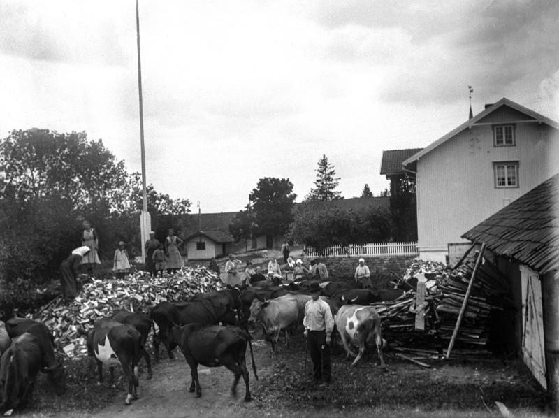 Svart-hvitt fotografi av et gårdstun med masse kuer på, i tillegg til en stor haug med ved som er delt og kløyvd. Mennesker både på vedhaugen og ved gårdshusene som synes til høyre i bildet.