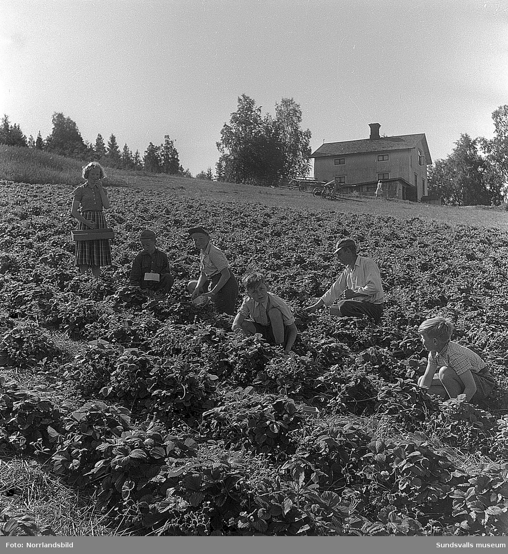 Jordgubbsplockning i ett stort jordgubbsland i Huli, barn och vuxna.