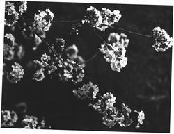 Kirsebærblomst. Kj.v. 28 B