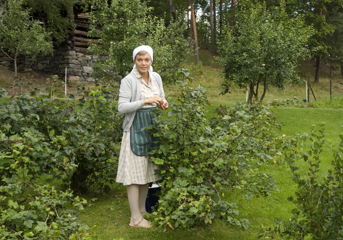 Plukking av bær i hagen på Stiklestad. Trøndelagstunet, Norsk Folkemuseum.