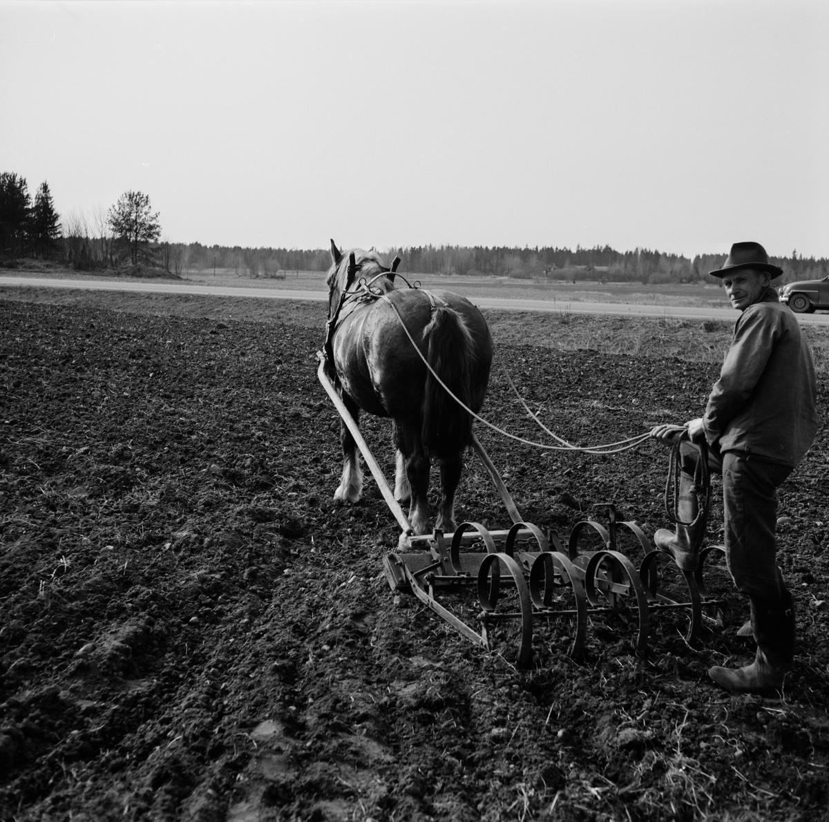 Jordbrukare Gunnar Jansson och ardennerstoet Tanja framför harven, Sjukarby, Tolfta