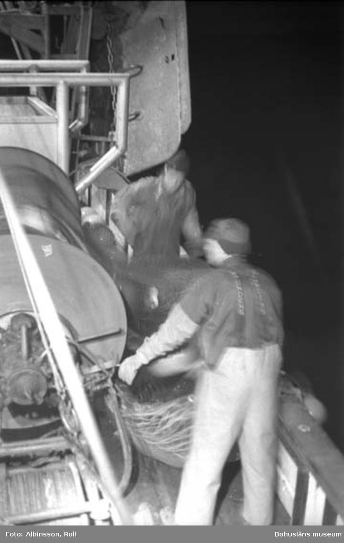 """Enligt fotografens noteringar: """"Harald Hansson och Bengt Persson (närmast) vid trumman för att fira ut trålen och hänga på flytkulorna som är till för att hålla uppe trålen. När man tar in trålen på trumman hänger man dessa kulor som ligger i nätpåsar för att inte försvinna, alla kulor har ej hål i mitten."""" Fototid: 1996-03-06."""