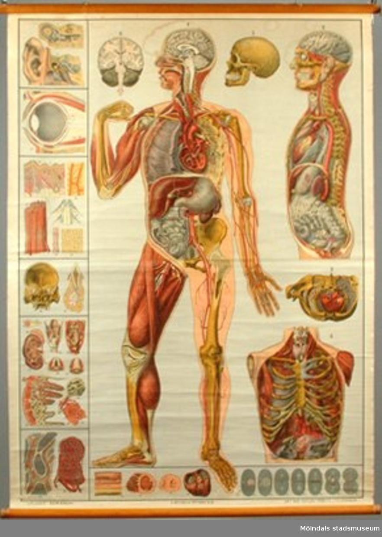 Anatomisk plansch av människokroppen. Rullad.Något sliten.
