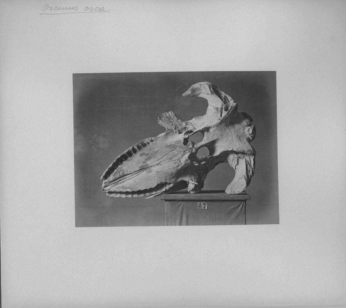 'Bilder på kotor och skelettdelar på podier.''Fotografier till hvaldjur m.m. från Vega-samlingen''. ::  :: Enligt anteckning på framsidan av fotografiet: ''Orcinus orca''.'